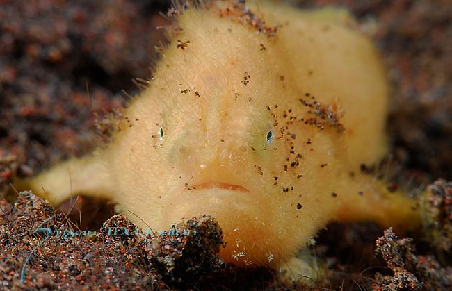 Hairy Frogfish-Yellow, Antennarius striatus, Underwater macro marine life images;  Photographed in Tulamben; Liberty Resort; Indonesia.Underwater Macro Photographer on FB 2nd Annual event