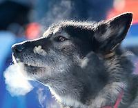 Steamy breath around a dog in mid winter