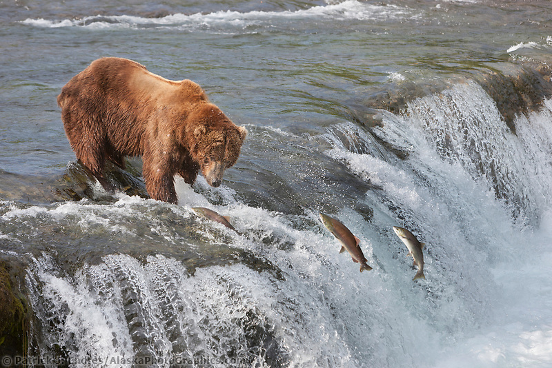 Brown bear fishes for red salmon in the  Brooks river, Katmai National Park, southwest, Alaska.