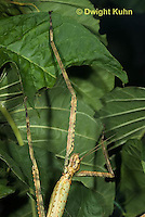 OR07-555z  Walking Stick Insect, close-up of head and antennae, Acrophylla wuelfingi