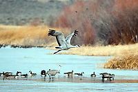 March 21, 2018: A sandhill crane makes a water crossing in the National Wildlife Refuge wetlands. Each spring, as many as 27,000 sandhill cranes migrate through Colorado's San Luis Valley and the Monte Vista National Wildlife Refuge, Monte Vista, Colorado