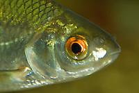 Blankvoor (Rutillus rutillus), close-up. .