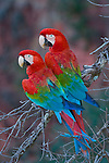 Wild, non-captive, non-habituated Red and Green Macaws in a sink hole in Mato Grosso do Sul, Brazil.