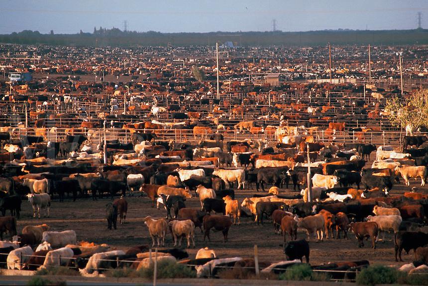 Cattle stockyard. Mendota, California.