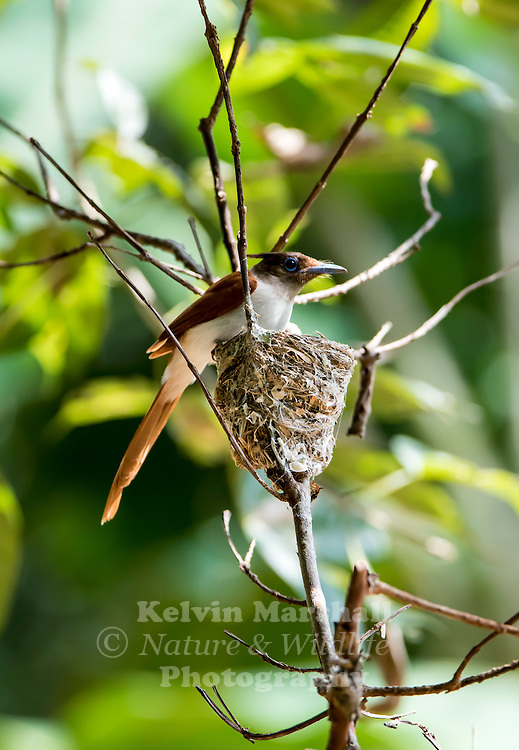 Indian paradise flycatcher (Terpsiphone paradisi), is a medium-sized passerine bird native to Asia that is widely distributed. Habarana - Sri Lanka.