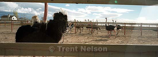 Ostriches.<br />