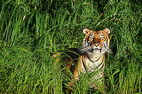 Bengal Tiger (Panthera tigris) in grass along edge of pond.