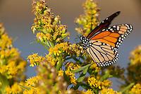 Monach butterfly; Danaus plexippus; on Seaside Goldenrod; NJ, Forsythe NWR