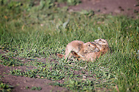 When we first encountered these two Black-tailed Prairie Dogs (Cynomys ludovicianus), they were tussling on the side of the road.  We figured they were two young males wrestling.  Then we thought maybe it was a mating pair.  Then junior started nursing and the slow-witted humans figured it out.  Custer State Park, The Black Hills, South Dakota.
