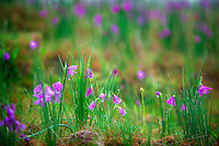 Field of Grass Widow flowers (Sisyrinchium douglasii). Near Catherine Creek. Columbia River Gorge National Scenic Area, Washington