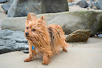 Yorkshire Terrier Enjoying the Ocean Breeze on a Beach along the Coast of Maine