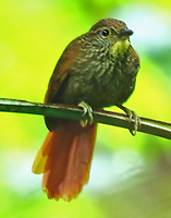 Lineated foliage-gleaner