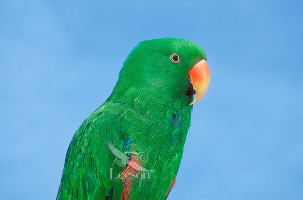 Electus Parrot (Electus roratus). Australia & New Guinea.