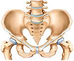 anterior view of pelvis