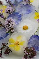 Blüteneiswürfel, Blüten-Eiswürfel, Eiswürfel wird mit essbaren Blüten aromatisiert, Blüten, Blumen, Kräuter, Kräuter sammeln, Ernte, Kräuterernte, Blütenblätter, essbare Blüten. Wegwarte, Zichorie, Cichorium intybus, Chicory. Echte Kamille, Matricaria recutita, Syn. Chamomilla recutita, Matricaria chamomilla, German Chamomile, wild chamomile, scented mayweed. Echter Lavendel, Lavandula angustifolia, Lavender. Königskerze, Verbascum spec., Mullein. Margerite, Wiesenmargerite, Leucanthemum vulgare, Chrysanthemum leucanthemum, oxeye daisy, ox-eye daisy, moon daisy. Oregano, Wilder Dost, Echter Dost, Gemeiner Dost, Origanum vulgare, Oregano, Oreganum, Wild Marjoram. Wasser-Minze, Wasserminze, Minze, Mentha aquatica, Horsemint, Water Mint. Blossom, blossoms, flower, flowers, bloom, blooms, petal, petals, ice cube, ice cubes.