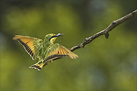 Little Bee-eater (Corbis 4-2011) Co-Exclusive