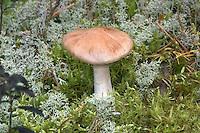 goatcheese webcap<br /> Cortinarius camphoratus