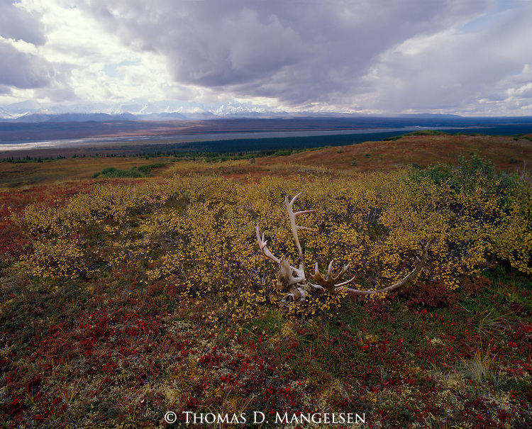 A caribou skull and antlers sits amongst the brush on the tundra, backdropped by the Alaskan range in Denali National Park.
