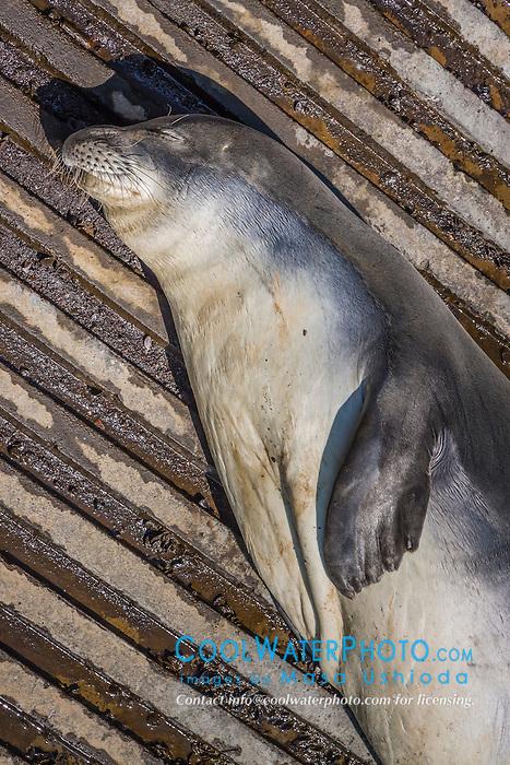 Hawaiian monk seal, Monachus schauinslandi, basking at boat ramp, tagged young male, critically endangered species, Honokohau Harbor, Kona Coast, Big Island, Hawaii, USA, Pacific Ocean