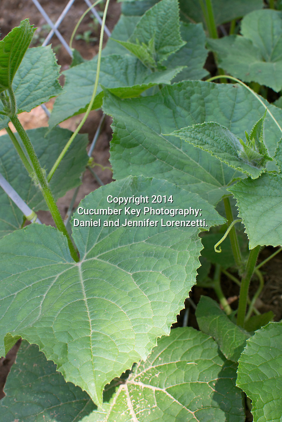 Foliage on young Straight Eight cucumbers growing up a trellis.
