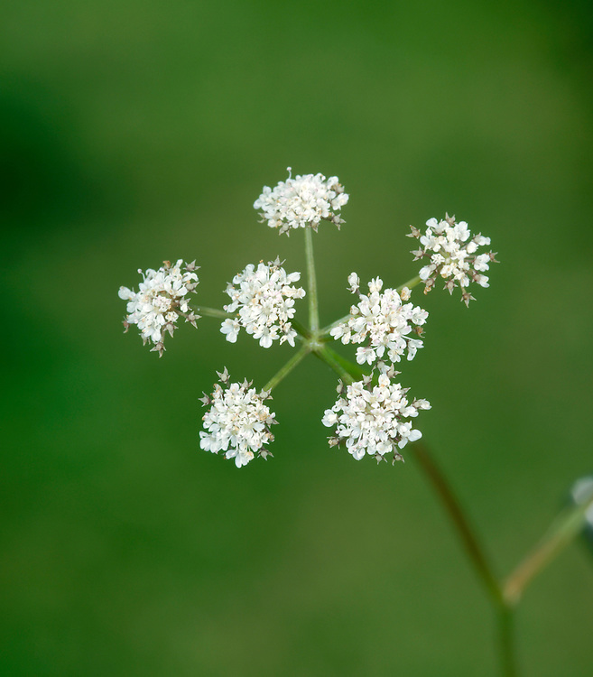 PARSLEY WATER-DROPWORT Oenanthe lachenalii (Apiaceae) Height to 1m. Upright, hairless perennial with solid, ridged stems. Found in damp meadows and marshes; tolerates brackish conditions. FLOWERS are white and borne in terminal umbels, 2-6cm across, with 6-15 rays (Jun-Sep). FRUITS are egg-shaped, ribbed and lack swollen, cocky bases (see next species). LEAVES are 2- or 3-pinnate with narrow to oval, flat leaflets, the whole recalling young, fresh Parsley leaves. STATUS-Locally common (mainly coastal) in England, Wales and Ireland; scarce in Scotland.