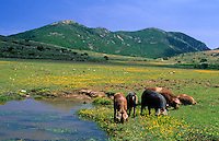 Italy, Sardinia, Nationalpark Gennargentu-Golfo di Orosei: pigs