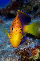 Japanese angelfish, Centropyge interrupta, Pearl and Hermes, Papahanaumokuakea Marine National Monument, Northwestern Hawaiian Islands, Hawaii, USA, Pacific Ocean