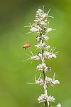 Honeybee, Apis mellifera, approaching flowers of whte sage, Salvia apiana. Mendocino County, California