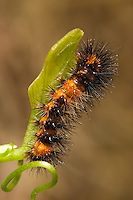 A Giant Leopard Moth (Hypercompe scribonia) caterpillar perched on a leaf.