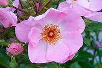 Rosa Sweet Haze ('Tan97274')