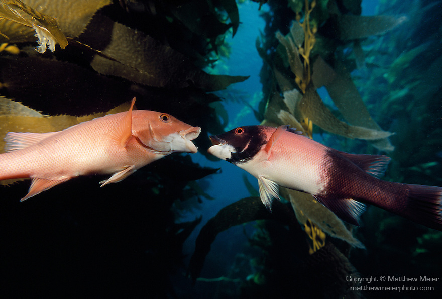 Santa Cruz Island, Channel Islands National Park & National Marine Sanctuary, California; two California Sheephead (Semicossyphus pulcher) fish, one male, one female, face off in a Giant Kelp forest, range from Monterey.Bay, California to Cabo San Lucas, Baja California, female until 7-8 years old, then change to male , Copyright © Matthew Meier, matthewmeierphoto.com All Rights Reserved