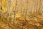 A photo of yellow aspen trees in the fall in the Sierra mountains of California