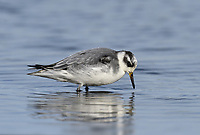 Grey Phalarope - Phalropus lobatus
