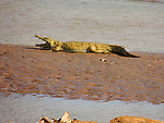 Nile Crocodile, Ewaso Nyiro River, Samburu