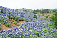 Texas Bluebonnets at Muleshoe Bend Recreation Area on Lake Travis