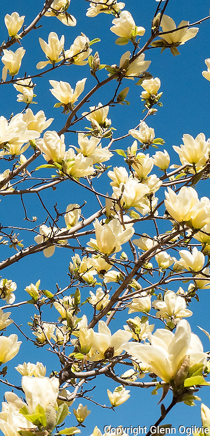 Yellow magnolia, or tulip tree, at Lawrence House