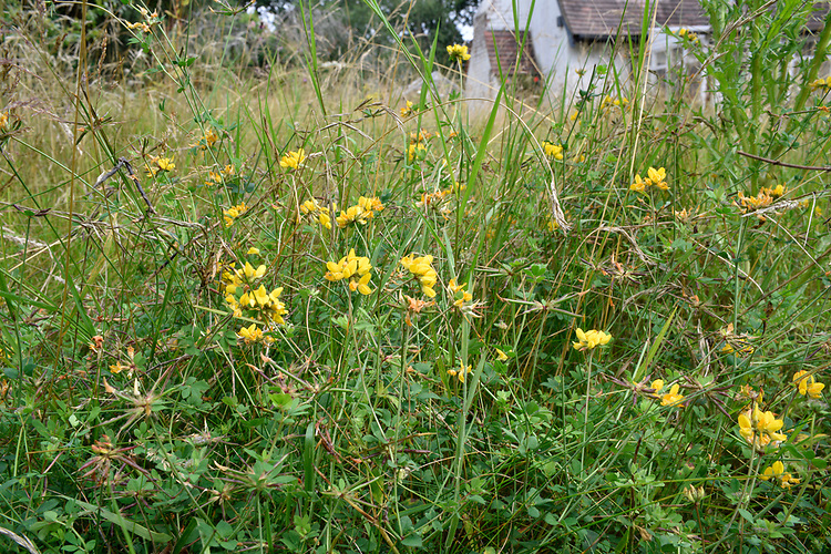 Garden Meadow - in late summer with greater bird's-foot trefoil
