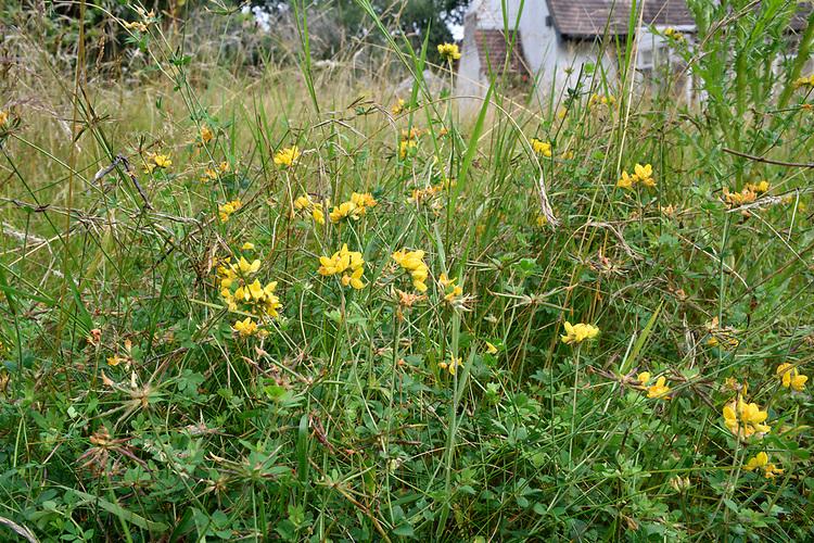 Garden Meadow - in late summer with greater bird's-foot trefoil