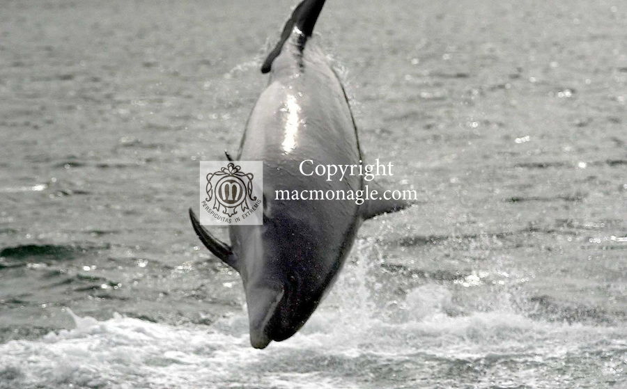 Dingle's wild friendly dolphin known affectionetely as 'Fungi' and is over 50 years old according to local scientists. But even at 50 Fungi, as our pictures taken this weekend show, he is as sprightly as ever. Fungi arrived in Dingle bay in 1983 and has been seen by well over 3,000,000 tourists over the past 20 years. To this day Fungi can be seen swimming close to boats and doing 10ft flips in the harbour. Local tour operators charge 10 euro for a trip to see Fungi with the provisio that should you not see him you get your money back!. (very few people received a refund)..Fungi is as important to Dingle tourism as the lakes are to Killarney. Queues of over 100 people on the pier waiting forthe next boat trip are a daily sight during the month of August..Picture by Don MacMonagle
