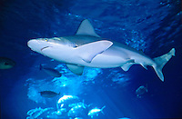 A sandbar shark cruises in the main exhibit at Maui Ocean Center, a visitor attraction at Maalaea where you can swim with the sharks. For early Hawaiians, sharks were a source useful tools. Teeth were made into weapons, and the skin cove
