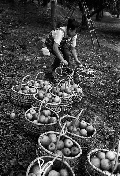 Apple farmer near Mount Iwaki in Hirosaki. Apple in Hirosaki is the most famous apple in Japan.