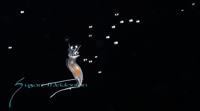 Pteropod releasing eggs