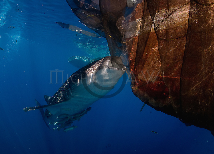 Whale shark at Cendriwasih Bay, Indonesia ; Rhincodon typus; slow-moving filter feeding shark; the largest living fish species; Nabire; West Papua; whale shark; whale shark fins fetch the highest price in the trade; Hong Kong
