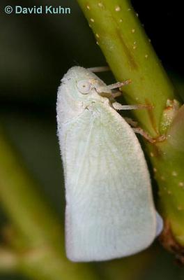 1109-0809  Flatid Planthopper, Anormenis chloris © David Kuhn/Dwight Kuhn Photography.
