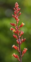Red Hesperaloe bloom in an extra tall orientation.