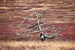 Dead Tree in the Big Meadows under late afternoon spring light, Shenandoah NP