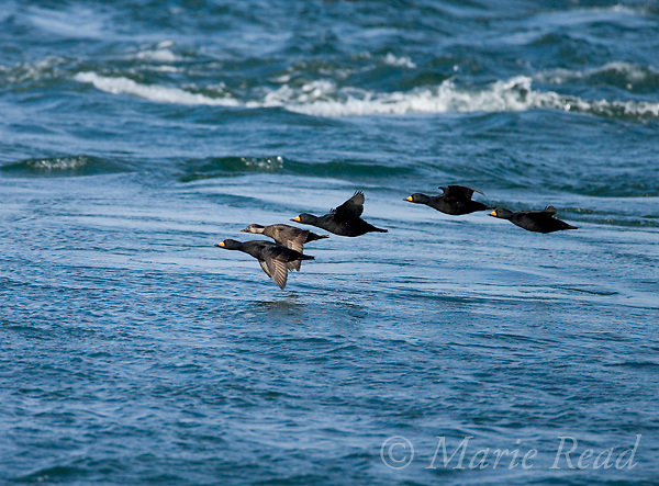 Black Scoters (Melanitta nigra) flock of males and females in flight, Barnegat Inlet, New Jersey,  USA