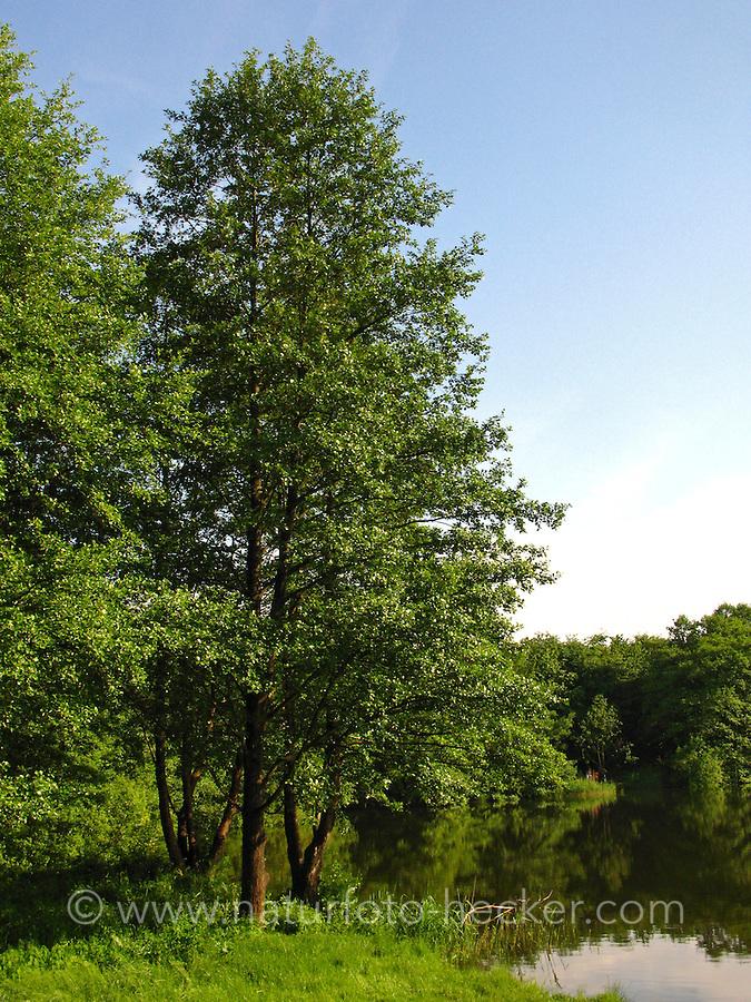 Schwarz-Erle, Schwarzerle, Schwarz - Erle, am Ufer eines Teiches, Sees, Ufergehölz, Alnus glutinosa, Common Alder, Aulne glutineux
