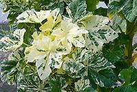 Lavatera arborea 'Variegata' variegated foliage leaves, aka Tree Mallow, aka Malva arborea