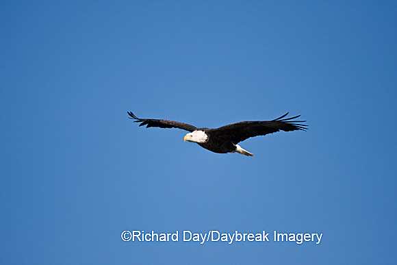 00807-035.04 Bald Eagle (Haliaeetus leucocephalus) in flight over Mississippi River, Alton, IL